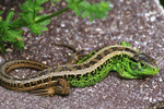Zauneidechse - Lacerta agilis