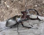 Hirschkaefer - Lucanus cervus