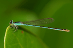 Kleinlibelle - Zygoptera